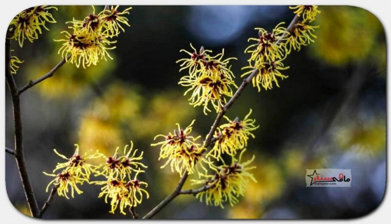 witch hazel effects on skin